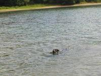 Niko the GettingOutside Wonder Dog Swimming at Lake Marburg
