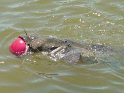 Flathead Catfish Choking on a Basketball