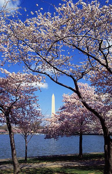 Tidal Basin Cherry Trees