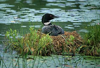Loon at Acadia (Photo: Bob Thayer)