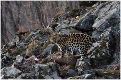 Look close! 3 Amur Leopards Eating Dinner