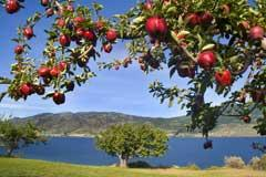 Apple Tree on a Lake
