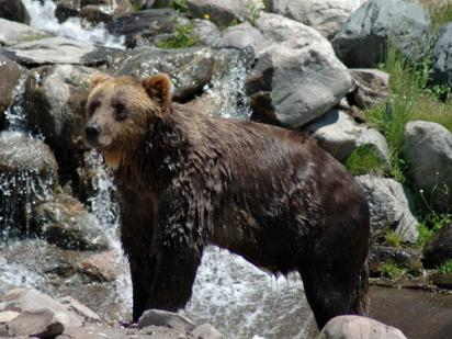Wet grizzly bear Gallatin National Forest (Sarah and Marc Chodera)