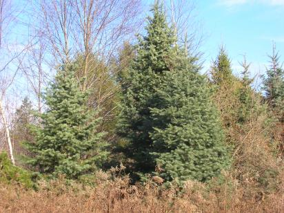 Christmas Trees -- Cut them down, but then what?