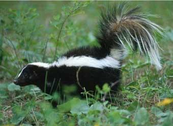Skunk (National Park Service)