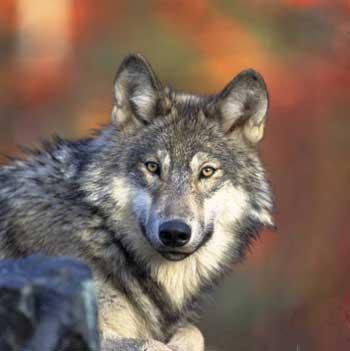 Gray Wolf, Endangered (Fish and Wildlife Service)