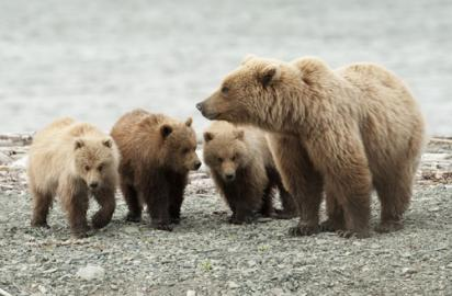 Bear In Campground Attacks Euthanized—Three Cubs Taken To Zoo
