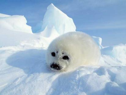 The Harp Seal or the Snow Seal is a threatened species, one which Dawn loves.
