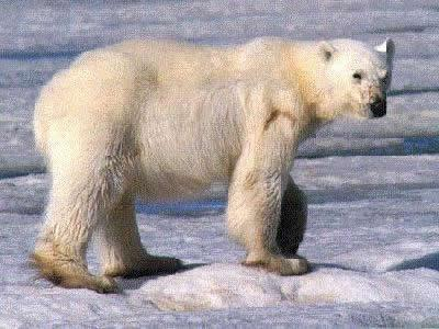 Polar Bear Lives in Shrinking Habitat (source: NPS)
