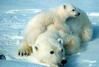 Polar Bears Snuggling All Cute!